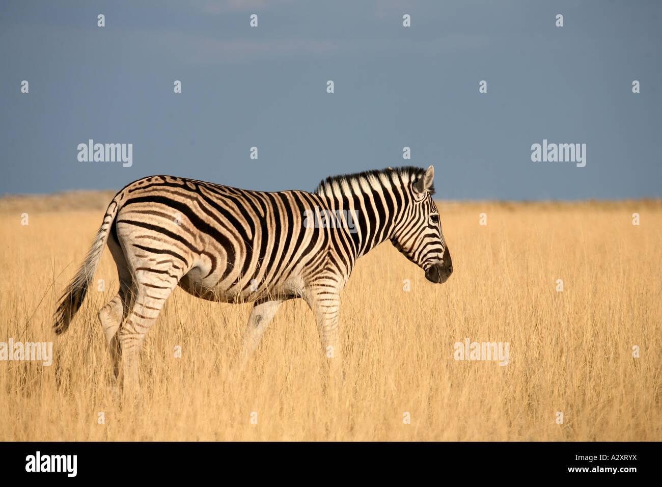 Zebra in dawn light at Etosha National Park Namibia Africa Stock Photo