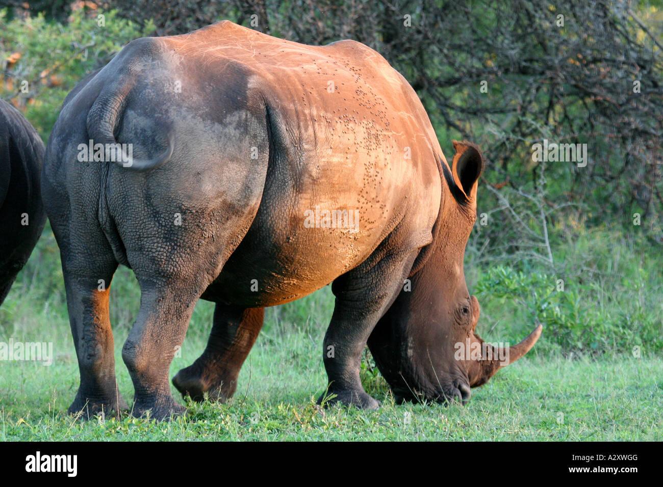 rhino black white Hluhluwe-Imfolozi National Park South Africa Stock Photo