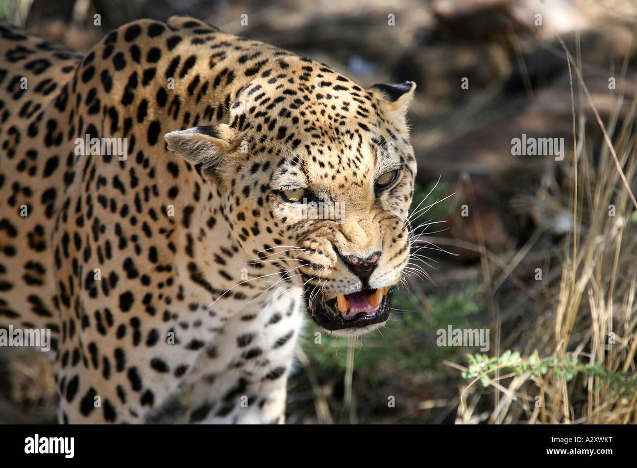 Leopard Big Cat, Namibia Stock Photo