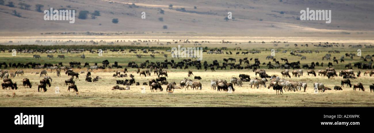Wildebeest and Zebra in ngorongoro Crater Tanzania Stock Photo