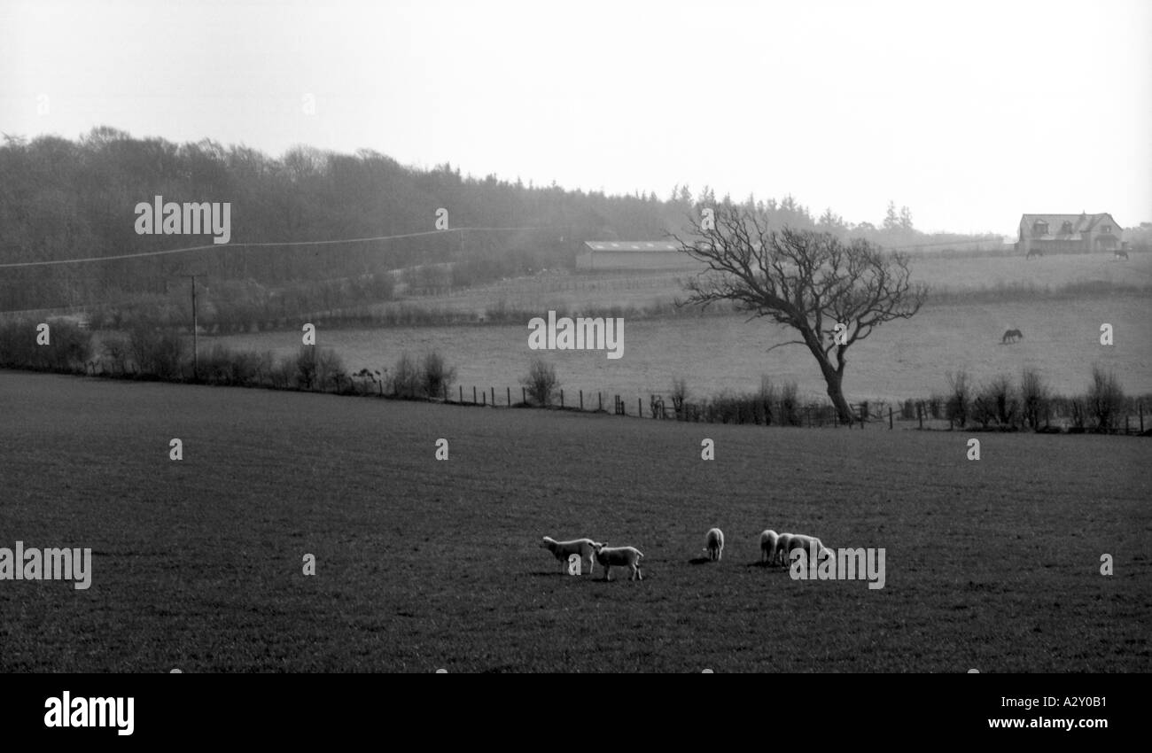 sheep grazing in a feild with a mysty background - Stock Image