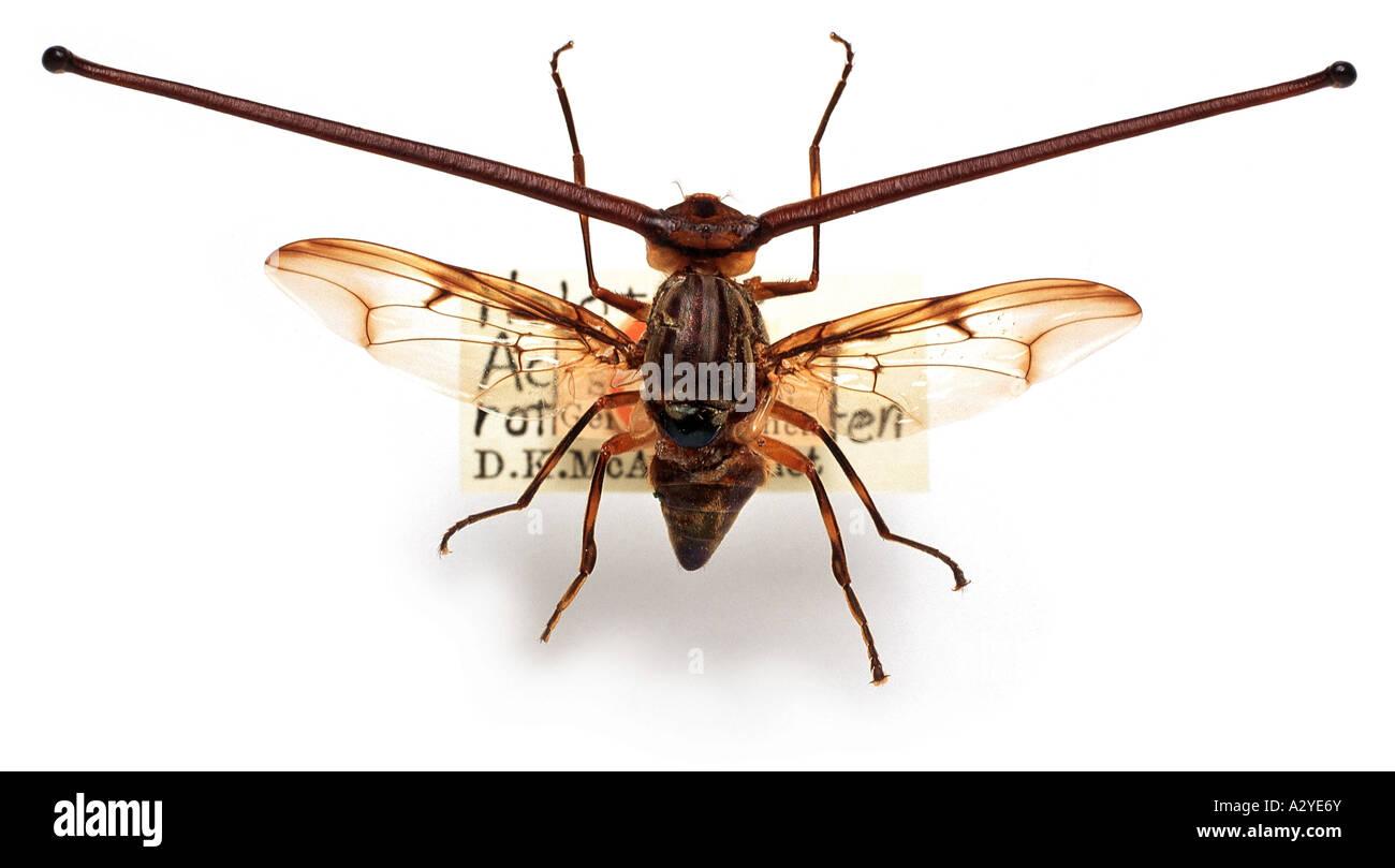 Rothschild fly - Stock Image
