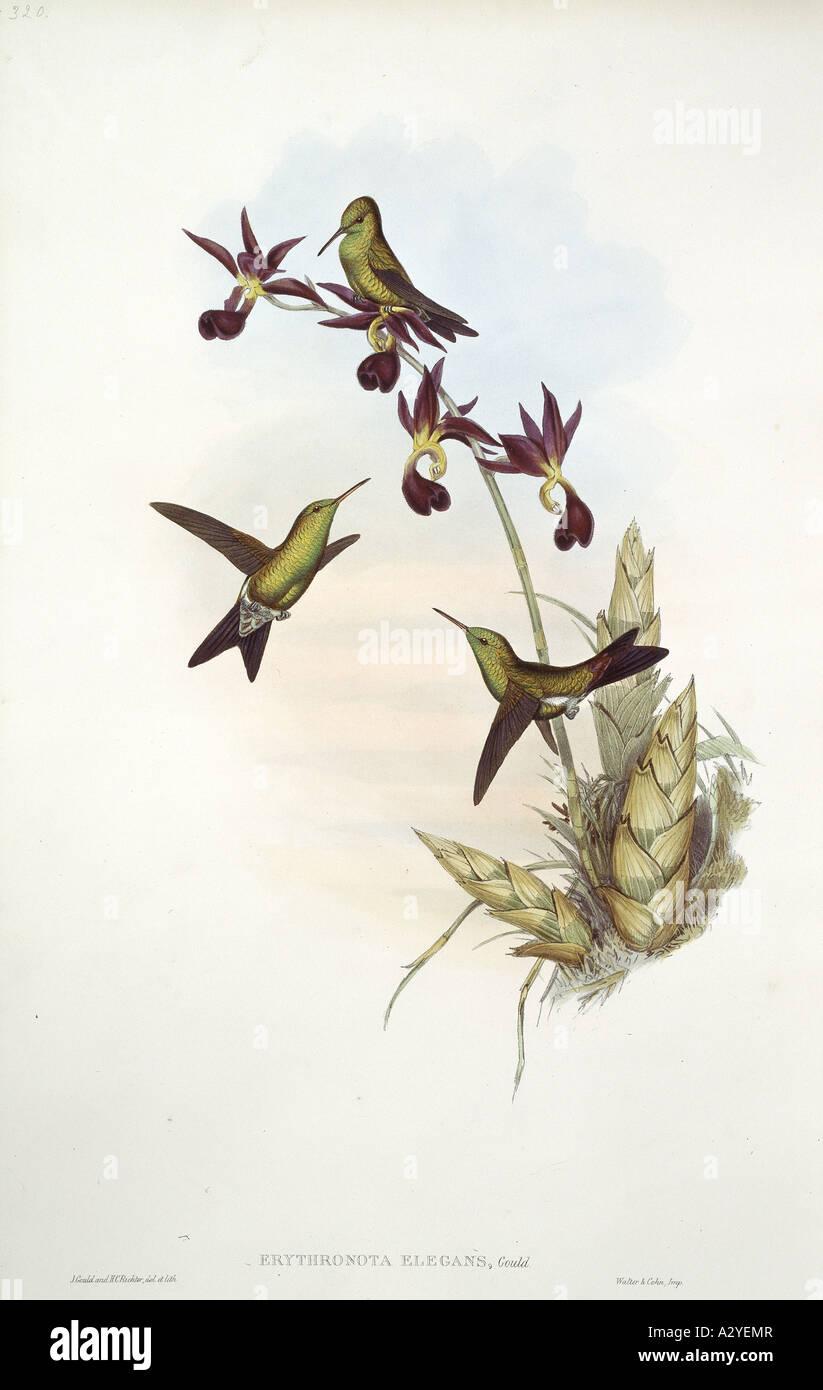 Unidentified hummingbird - Stock Image