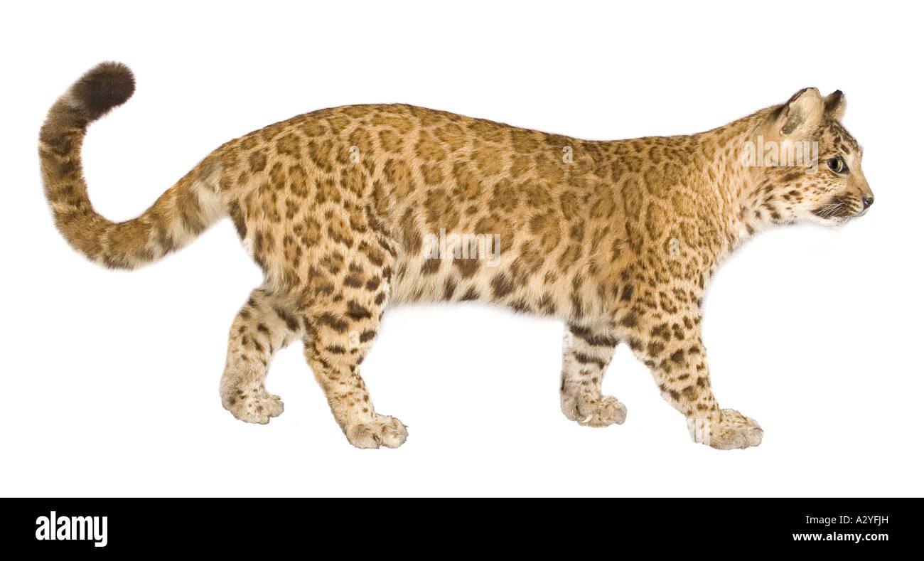 A puma leopard hybrid Stock Photo - Alamy