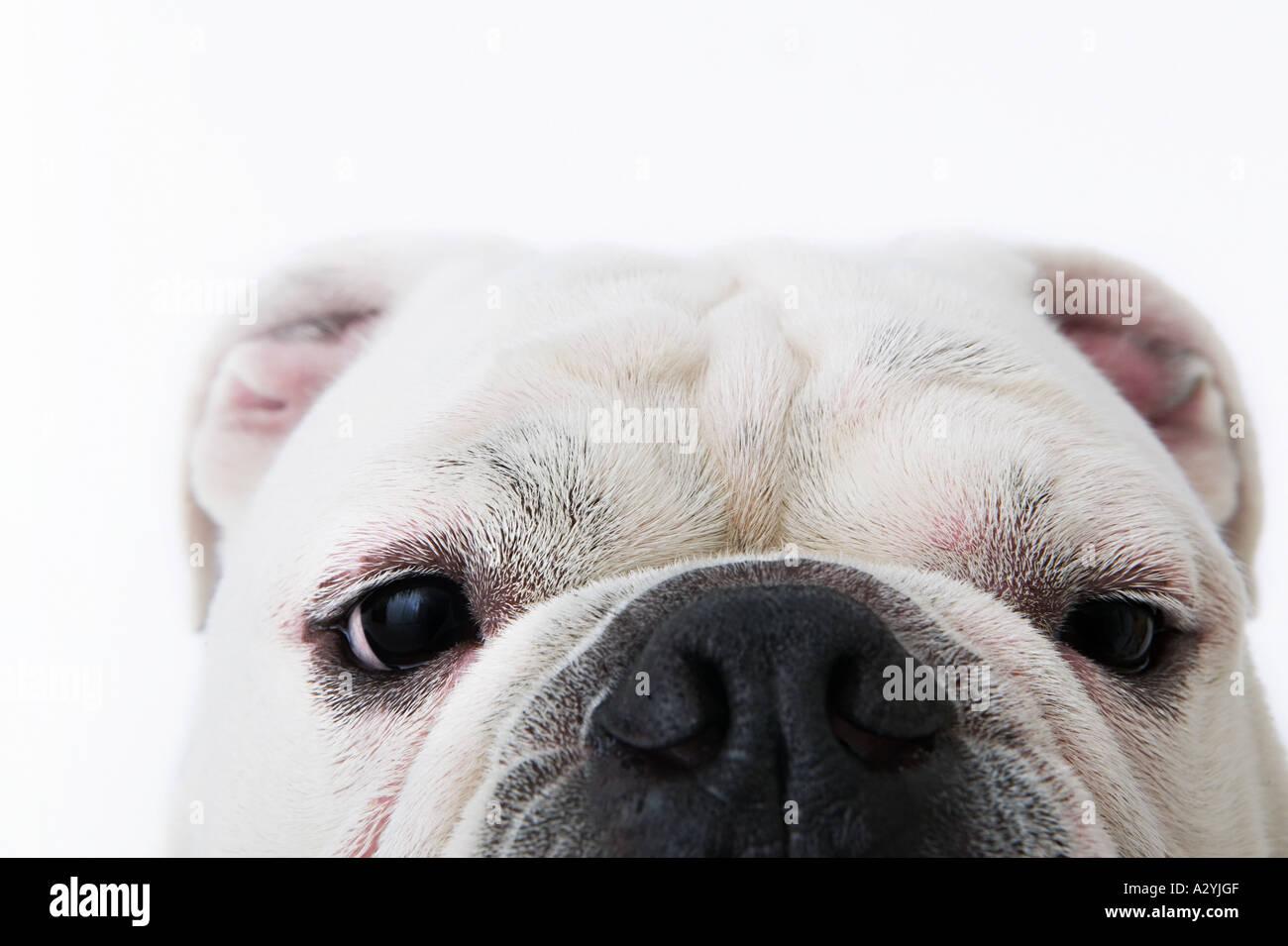 Face of a bulldog - Stock Image