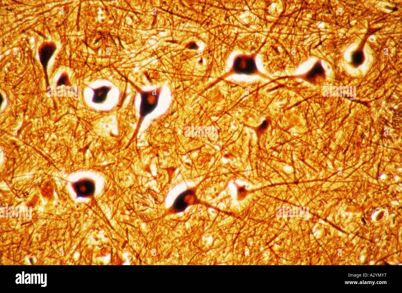 Nerve cells in brain stem - Stock Image
