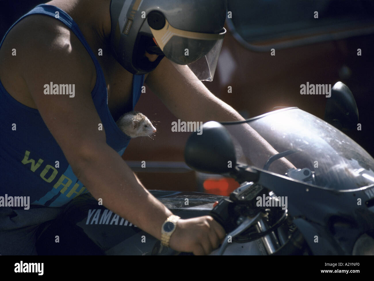 a man on a yamaha motorbike gazes fondly down from his helmet at the open mouthed ferret poking out of his blue tank top - Stock Image