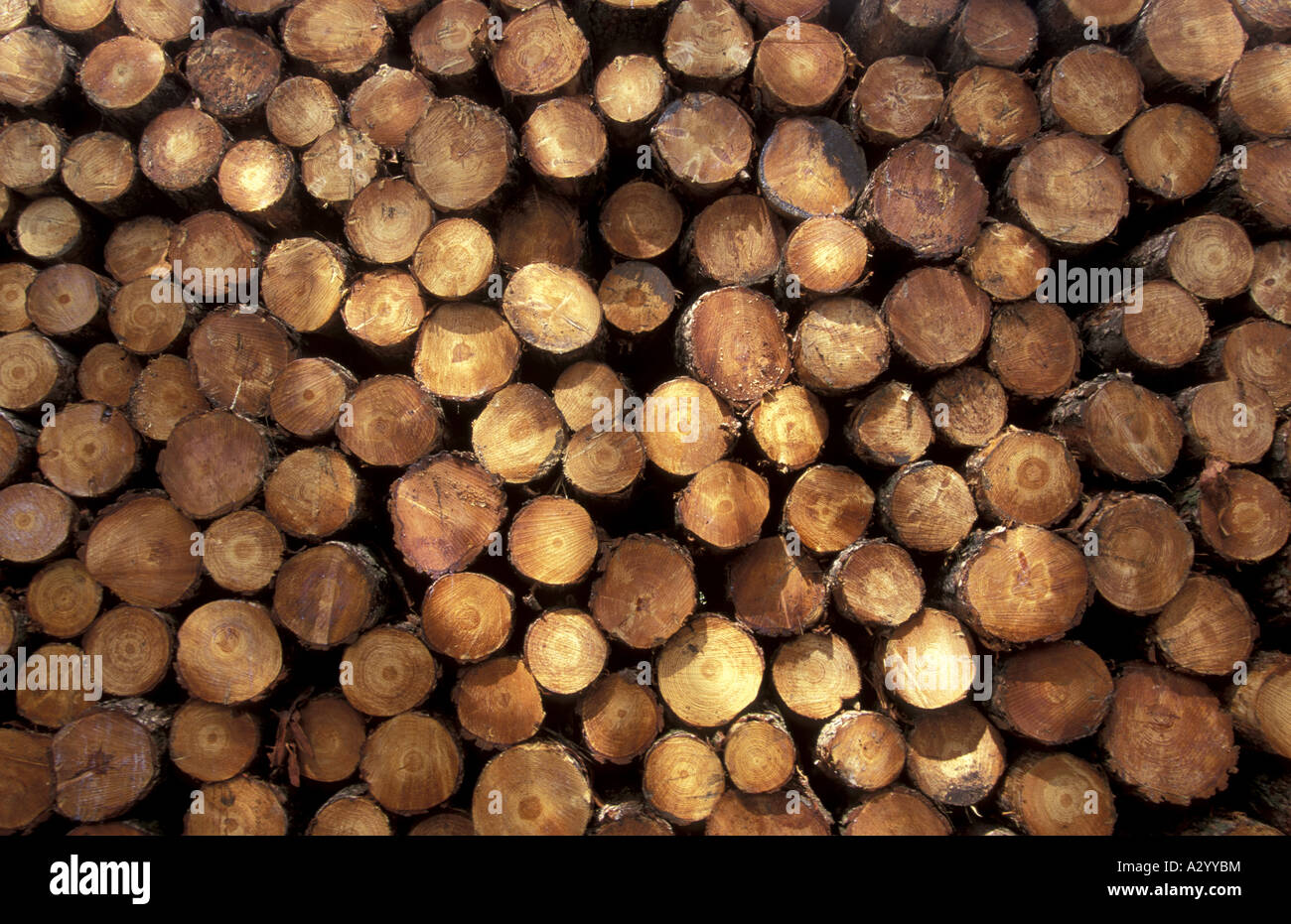 Stacked softwood trees cut down waiting to be removed from the forest England - Stock Image