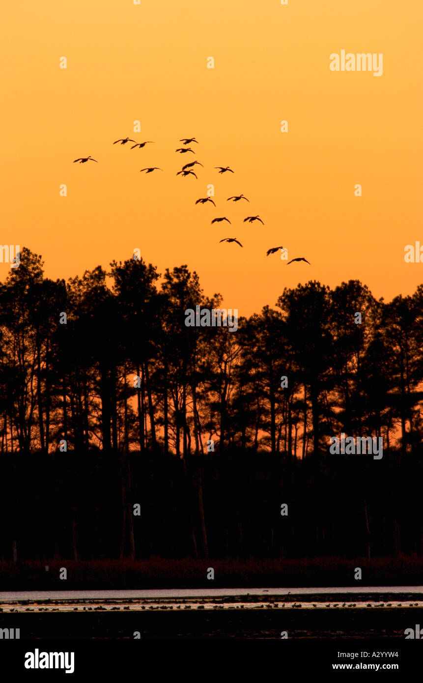 Canada geese Branta canadensis take flight at sunset. - Stock Image