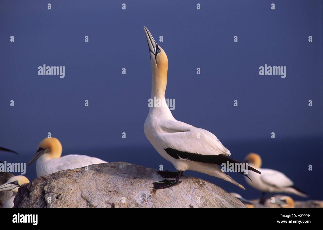 Northern Gannets (morus bassanus) on Great Saltee Island. County Wexford, Ireland. - Stock Image