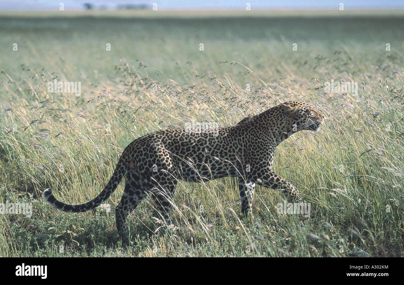 Leopard walking through long grass at Serengeti National Park Tanzania - Stock Image