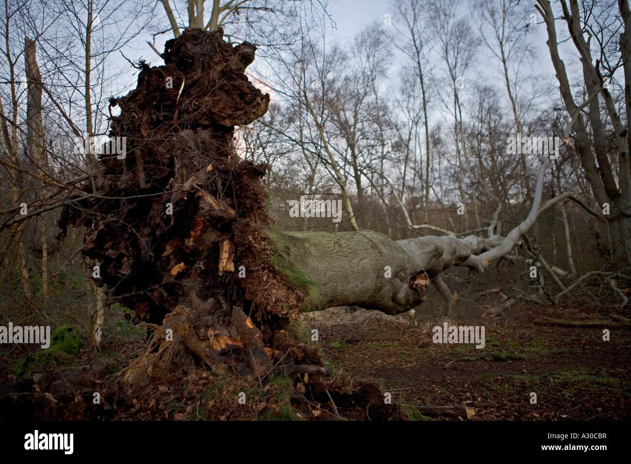 Uprooted tree following severe storm in Epping Forest - Stock Image