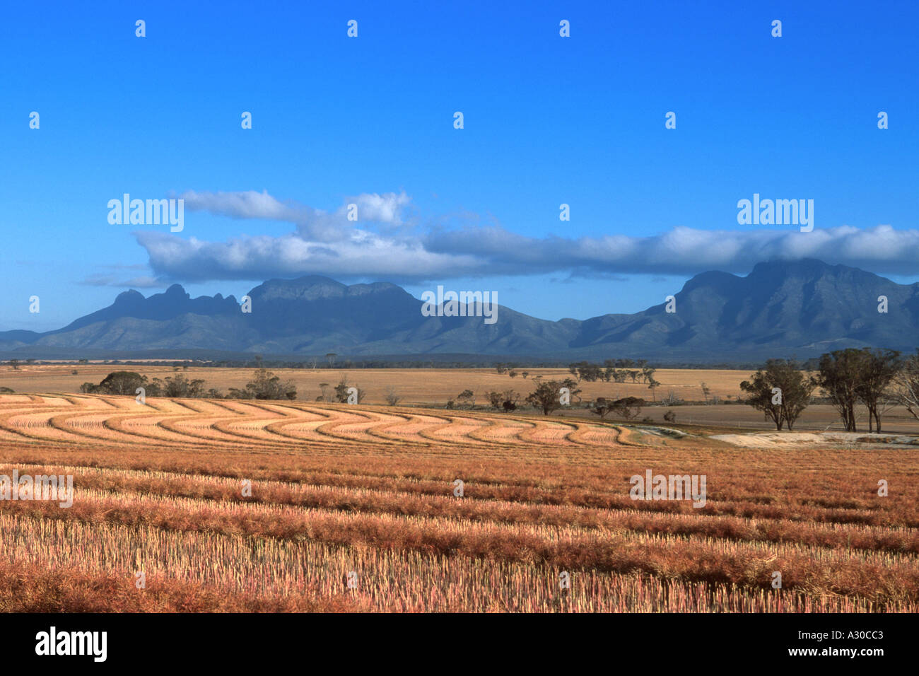 A rolling golden wheat field and the Sterling Mountains in the outback of Western Australia  - Stock Image