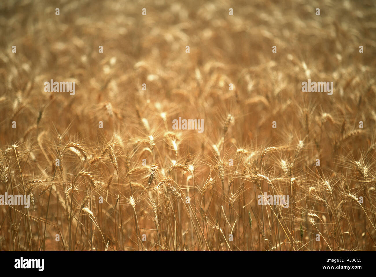 Golden shafts of wheat waving with the wind in the outback farming region of Western Australia  - Stock Image