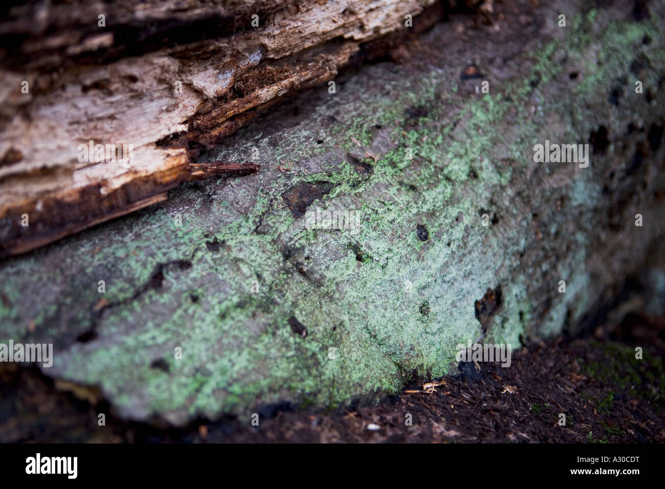 Green lichen growing on a fallen tree in Epping Forest - Stock Image