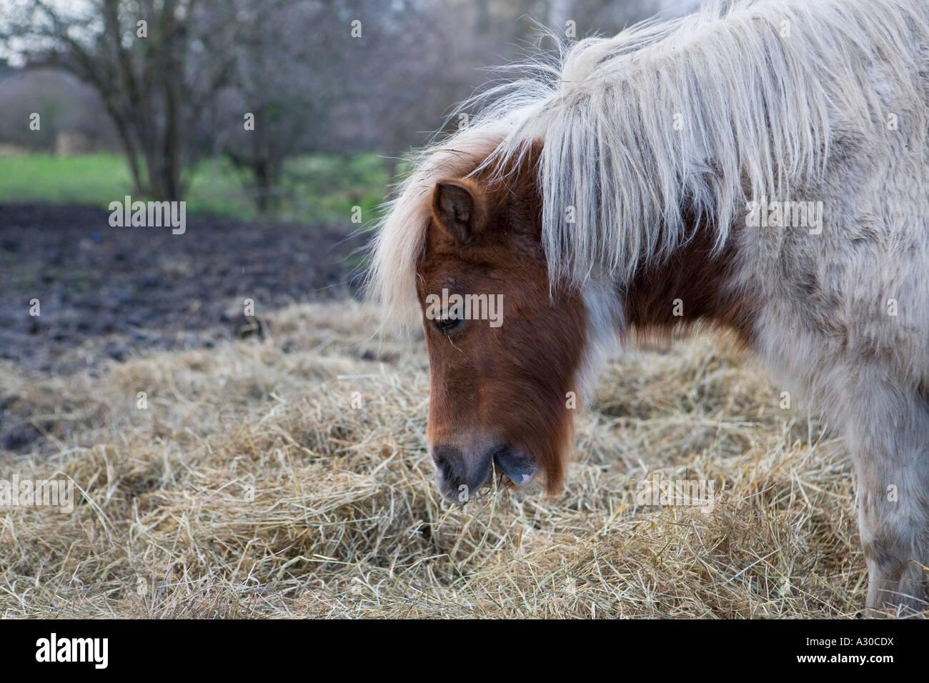 Shetland pony on wasteland in London - Stock Image