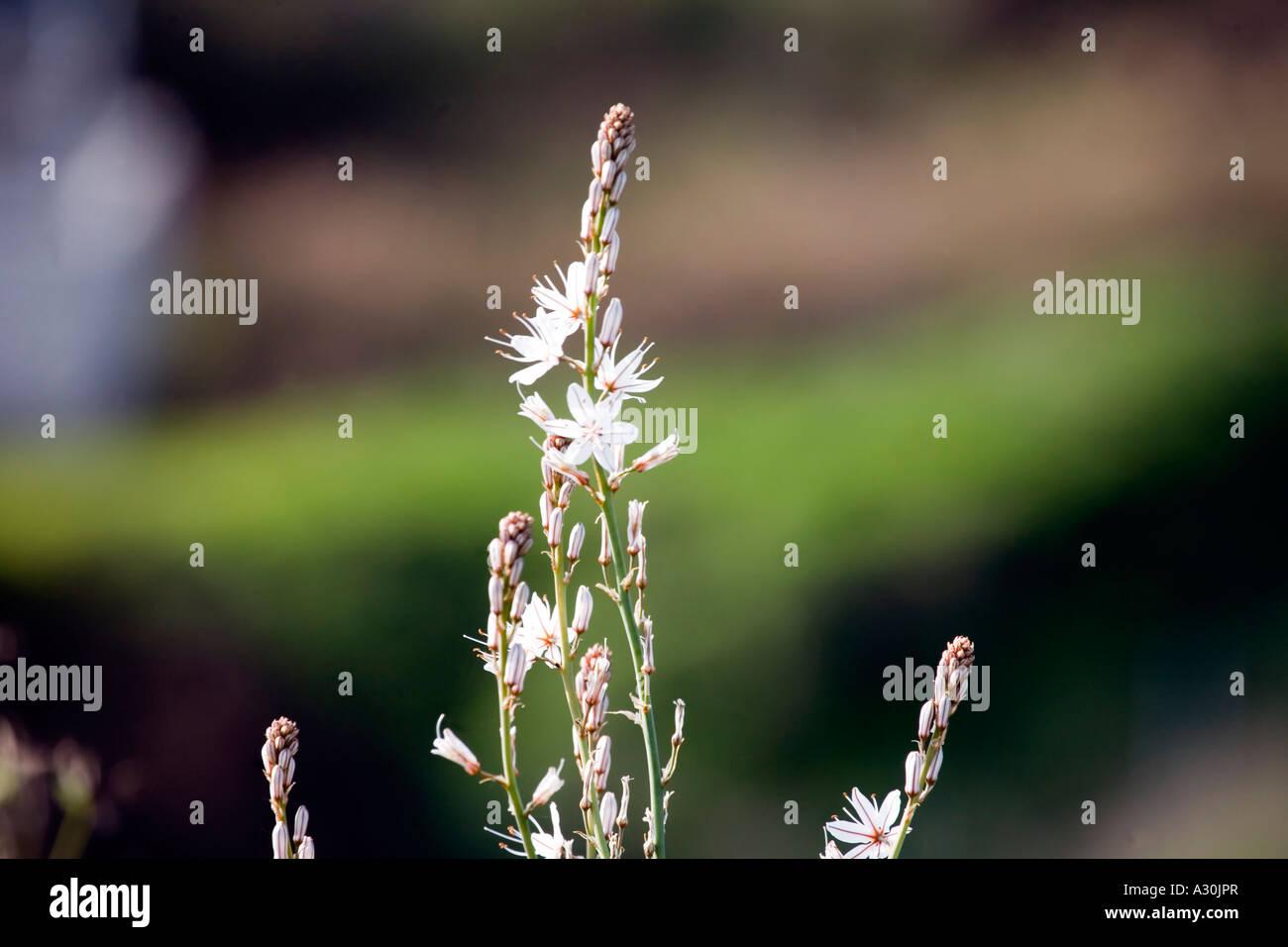 Common Asphodel (Asphodelus aestivus) growing in Spain Stock Photo