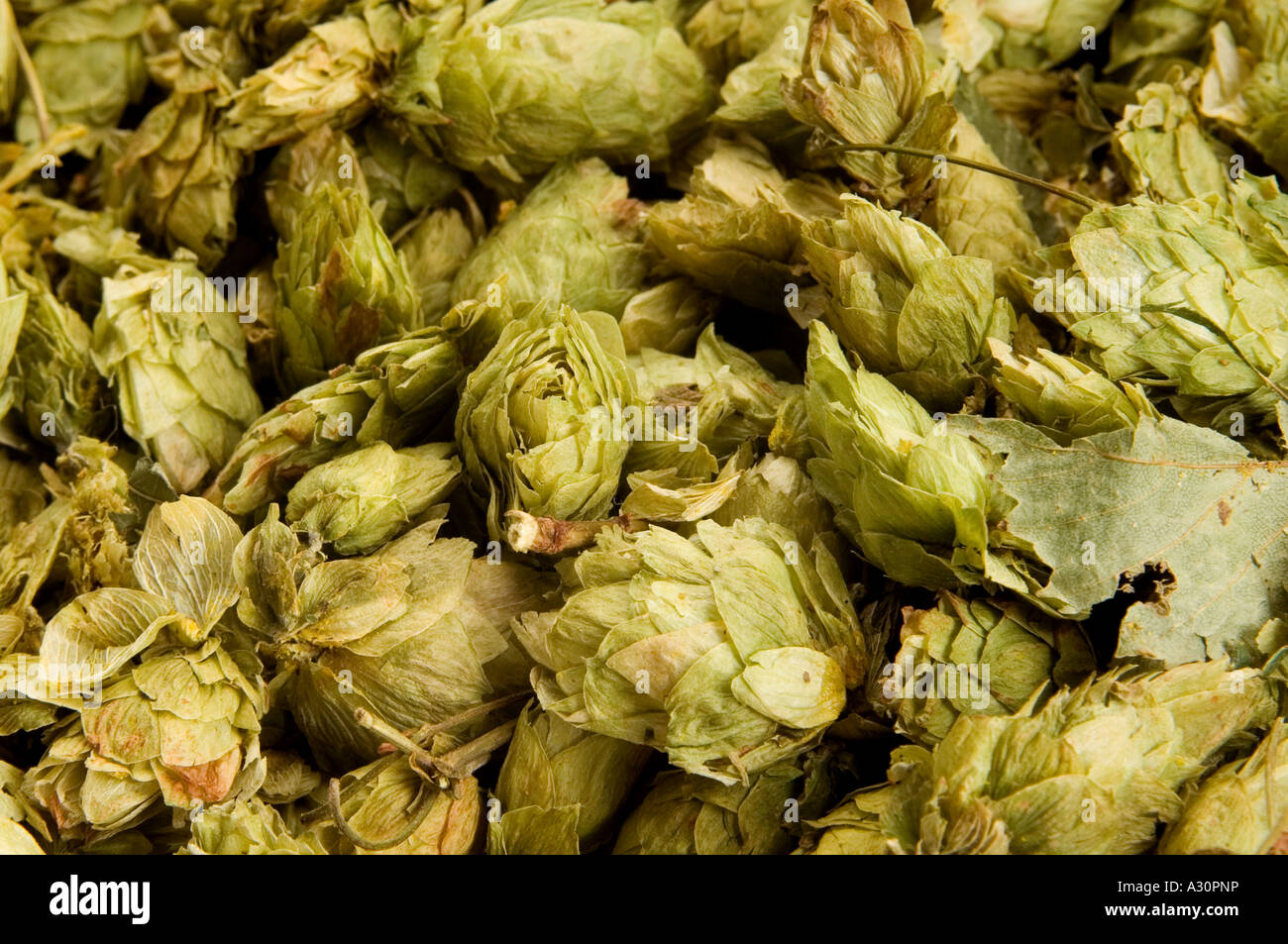 Hops picked and ready for beer making. Picture by Jim Holden. - Stock Image
