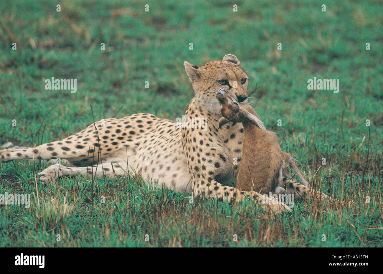 Cheetah asphyxiating freshly caught Thomson s Gazelle in Masai Mara National Reserve Kenya East Africa - Stock Image