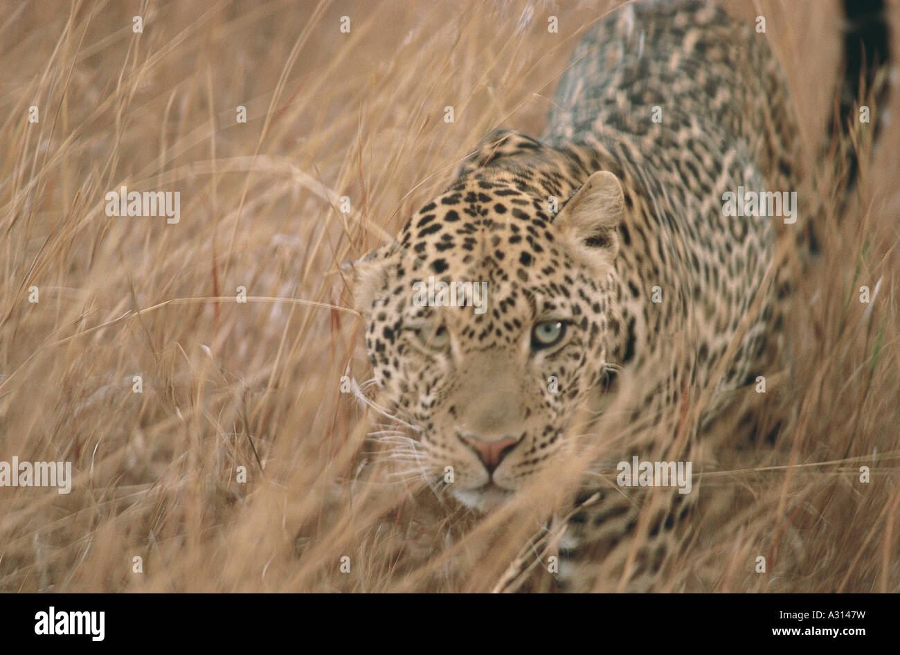 The Partially Hidden Leopard Is Looking Through The Grass Directly