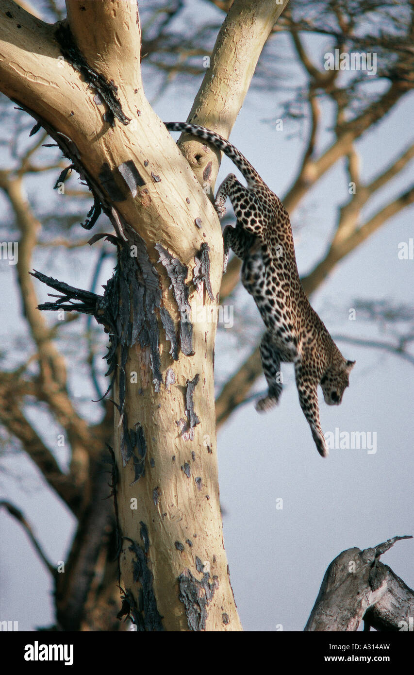 Leopard leaping down from upper branches of yellow barked Acacia tree in Serengeti National Park Tanzania - Stock Image
