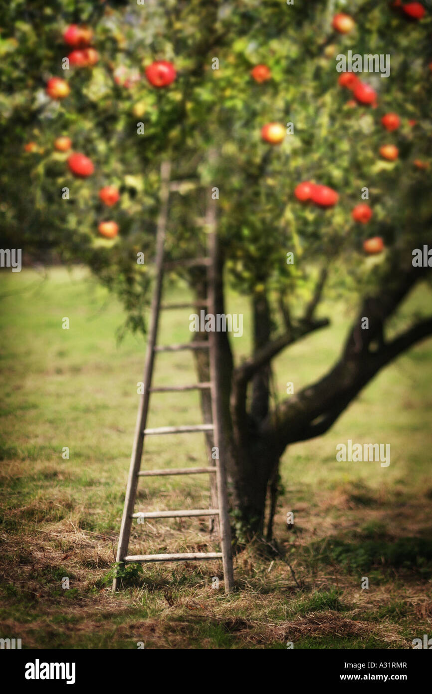 a ladder in a apple orchard - Stock Image