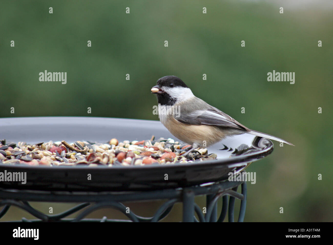 Black-capped Chickadee at feeding plate with seed in mouth in profile - Stock Image
