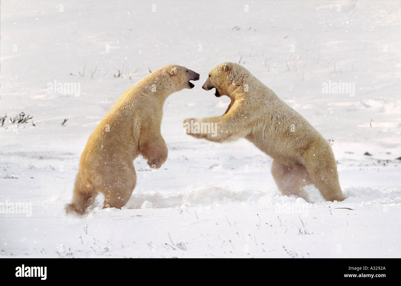 Polar bears sparring Cape Churchill Manitoba Canada - Stock Image