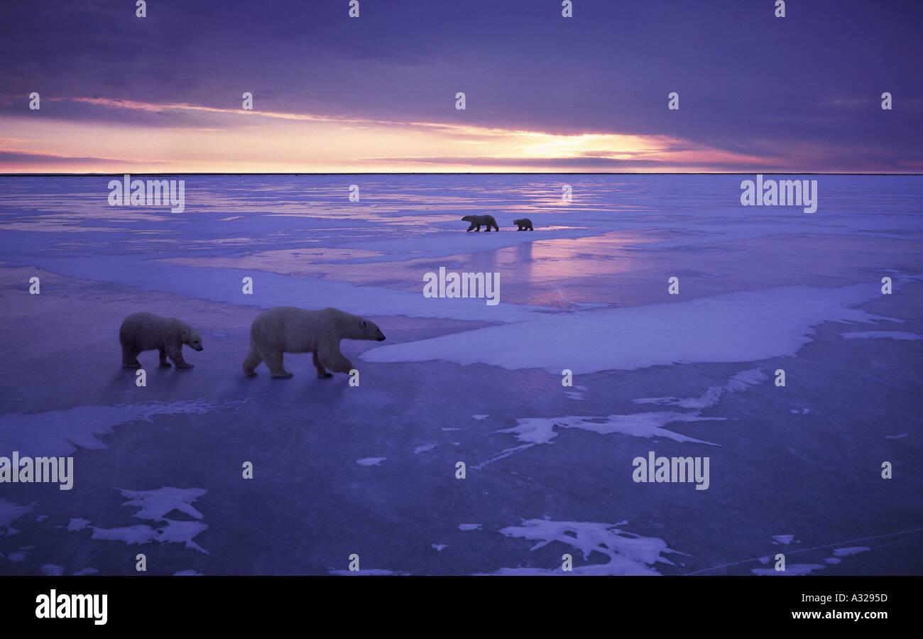 Two polar bear families walking on ice Cape Churchill Manitoba Canada - Stock Image