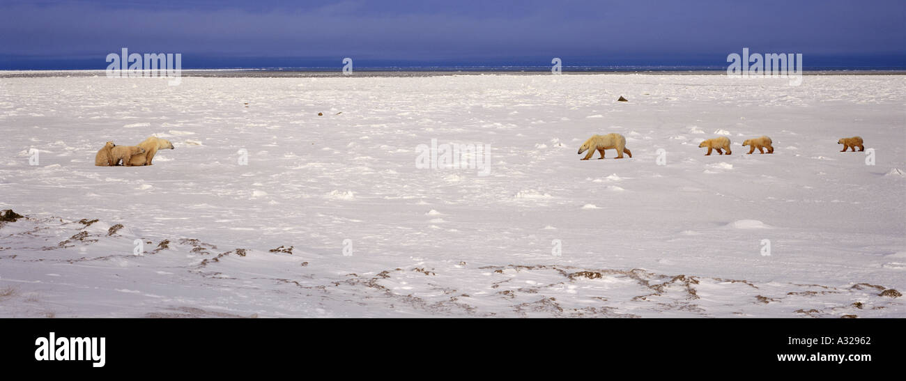 Two polar bear families Cape Churchill Manitoba Canada - Stock Image
