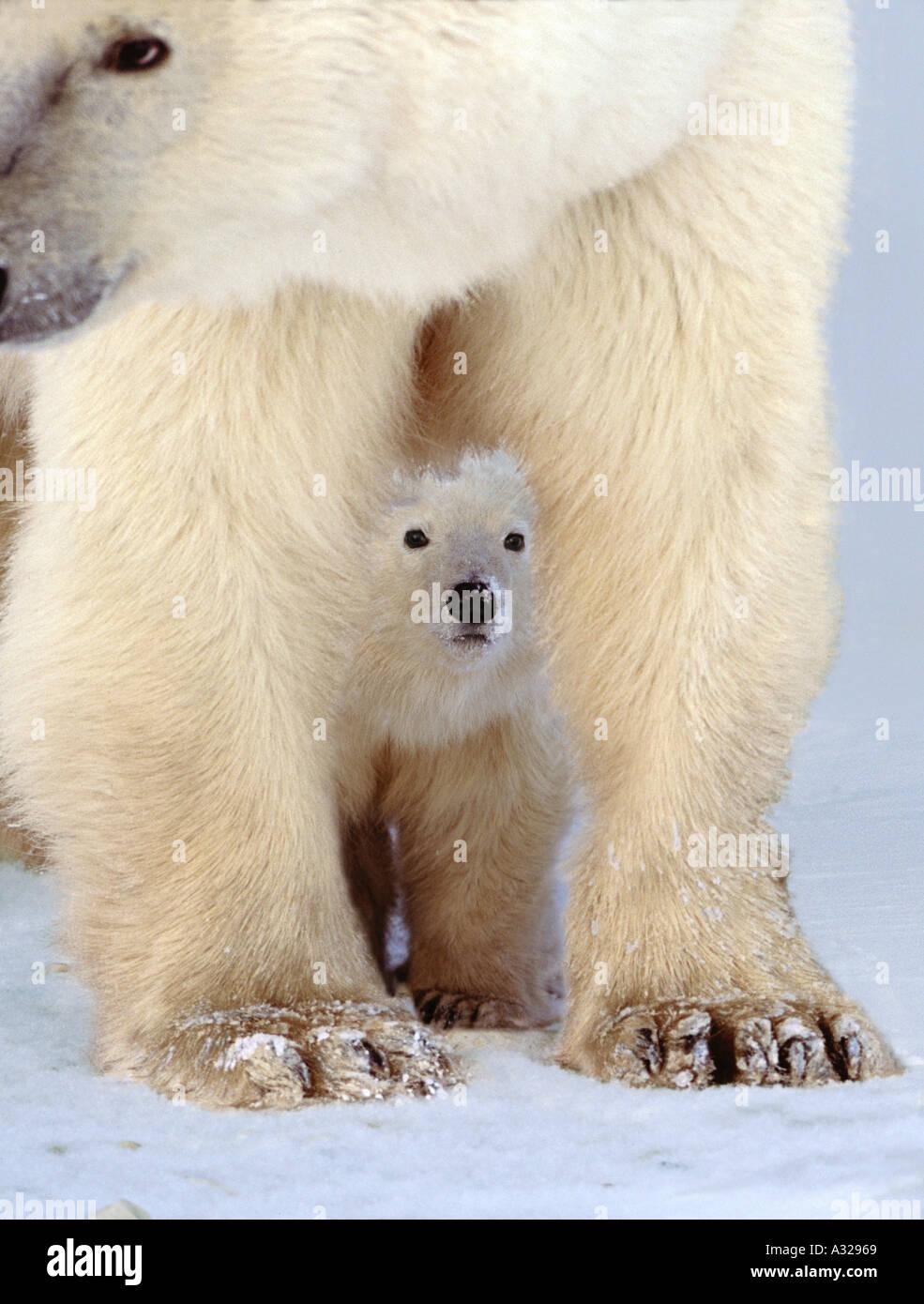 Polar bear and cub Cape Churchill Manitoba Canada - Stock Image