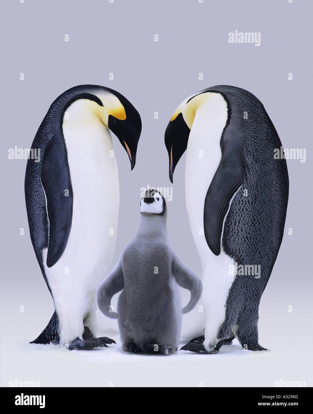 Emperor penguins Antarctica - Stock Image