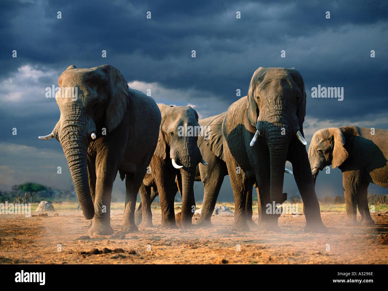 Elephants with storm clouds Botswana - Stock Image