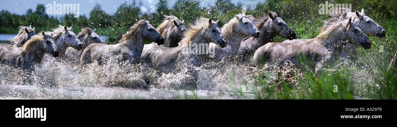 Camargue horses running through water France - Stock Image