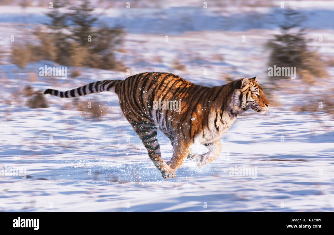Siberian Tiger running in the snow China Stock Photo