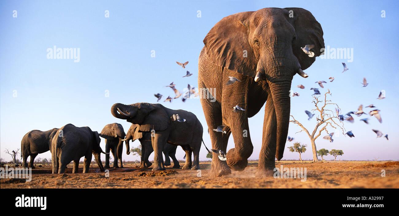 Elephants with birds Savuti Northern Botswana - Stock Image