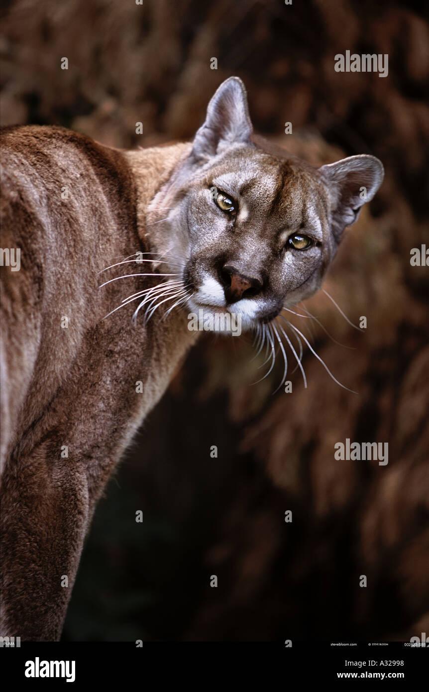 Puma Mountain lion - Stock Image