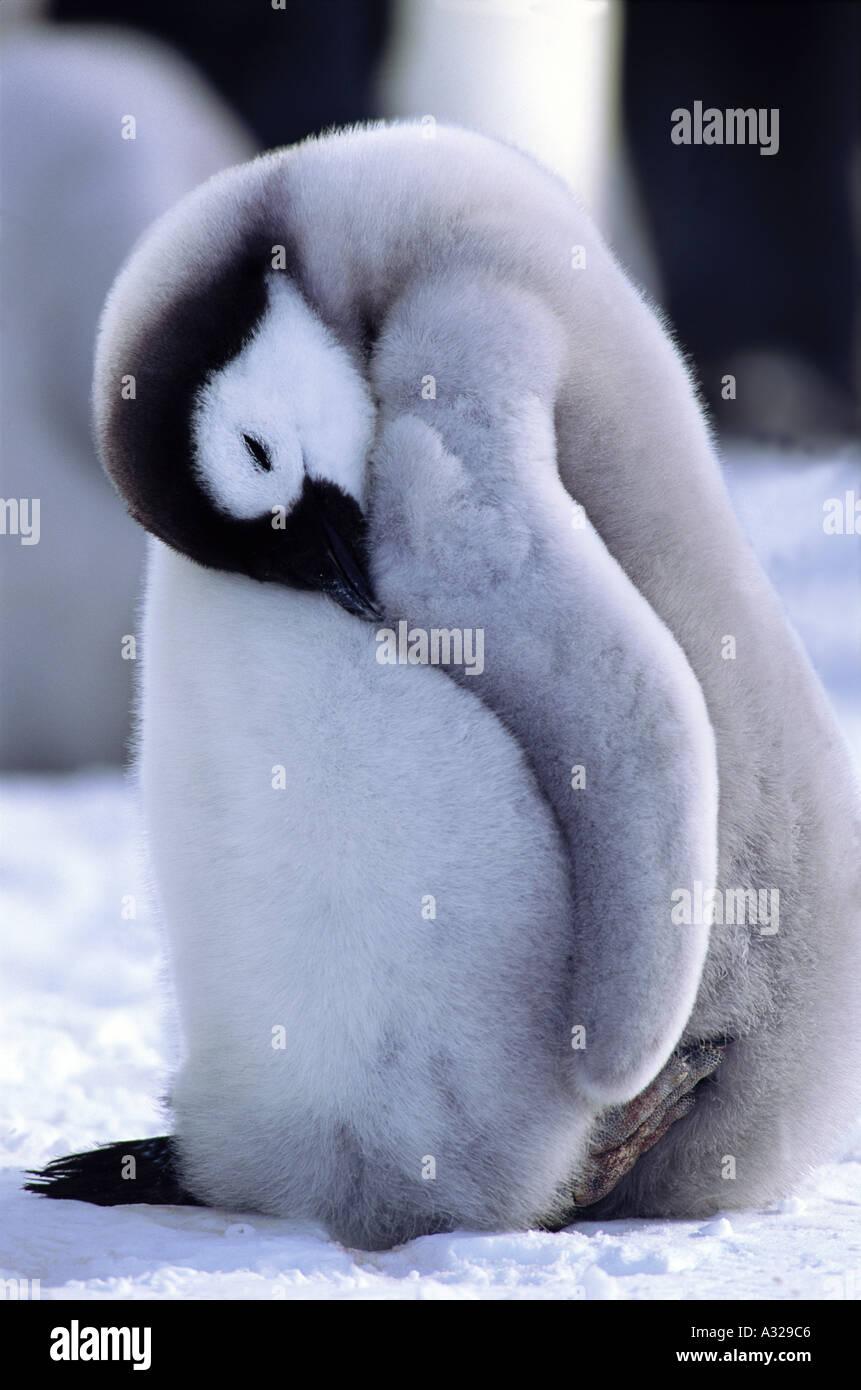 Emperor Penguin chick Auster rookery Antarctica Stock Photo