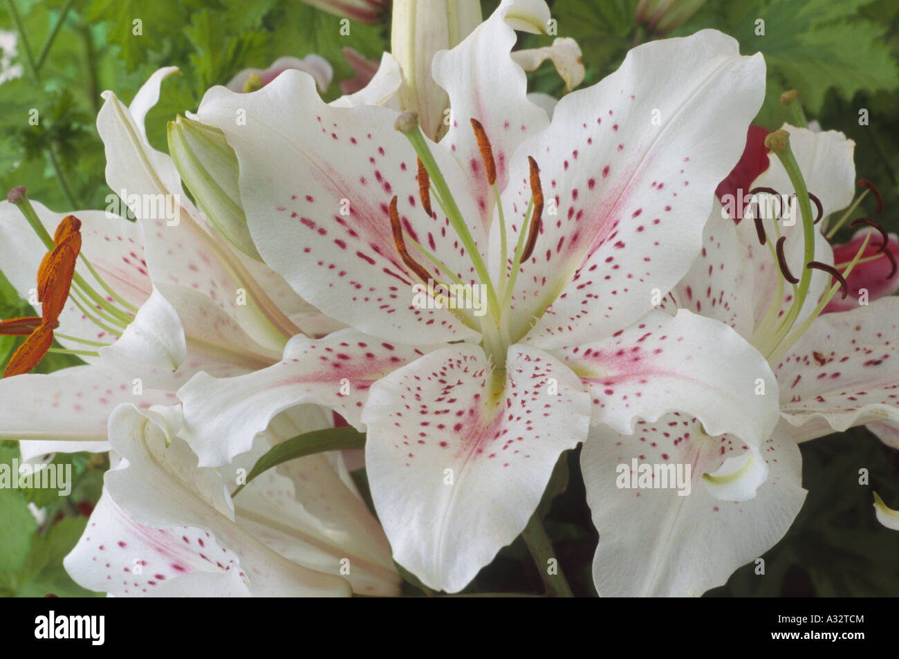 Lilium Muscadet Oriental Lily Close Up Of White With Pink Spots