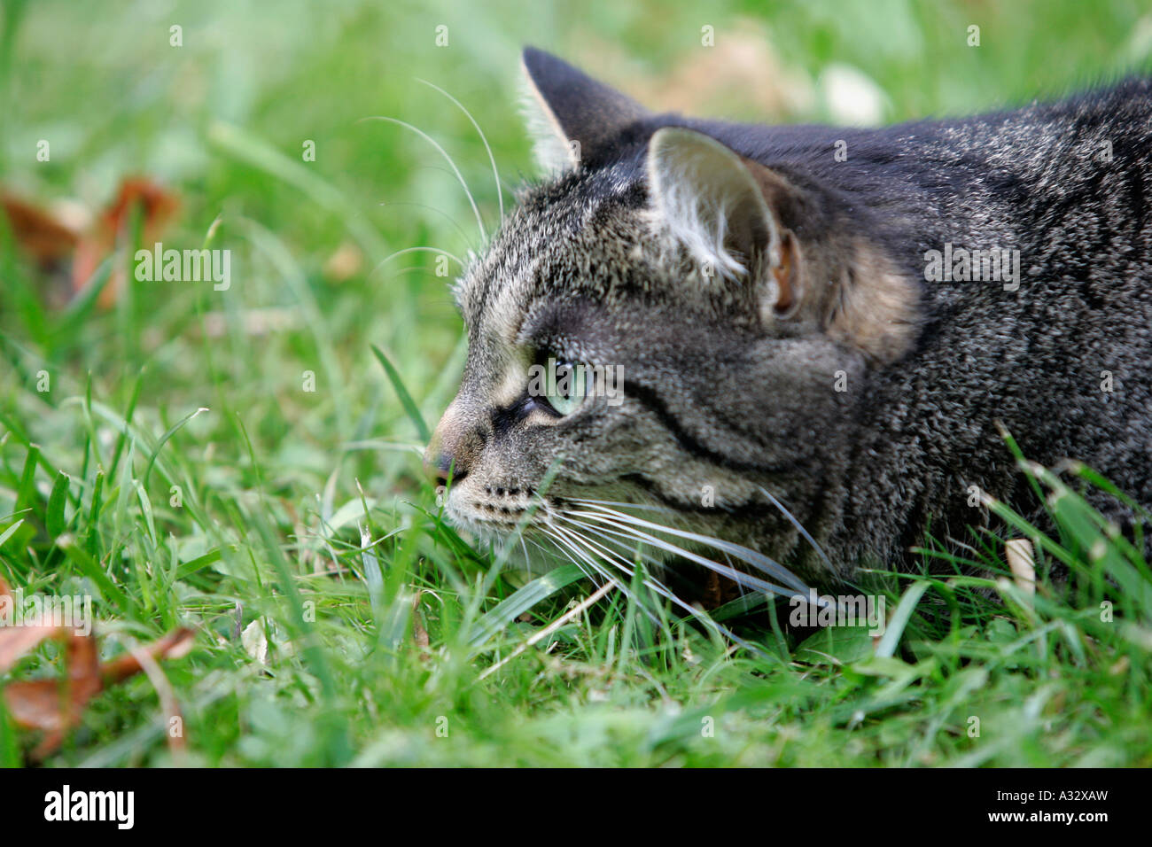 Cat lurking in a garden Stock Photo