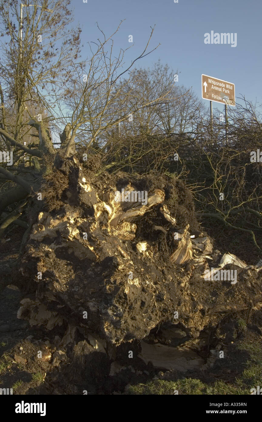 Fallen tree after winter storm, Hemel Hempstead, UK. - Stock Image