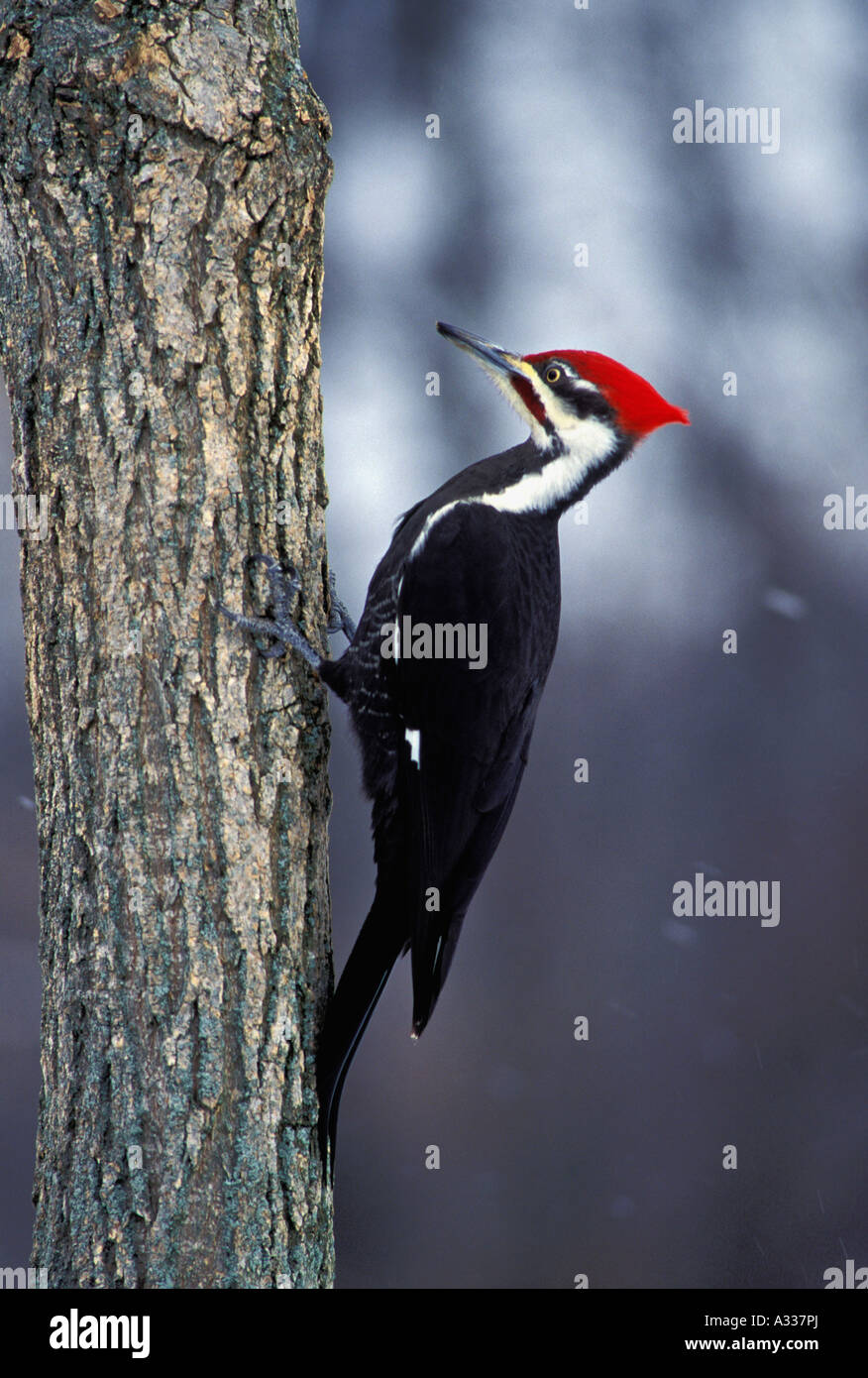 Pileated Woodpecker Dryocopus pileatus Clinging to Side of Tree Searching for Food in Winter Forest Southern Indiana - Stock Image