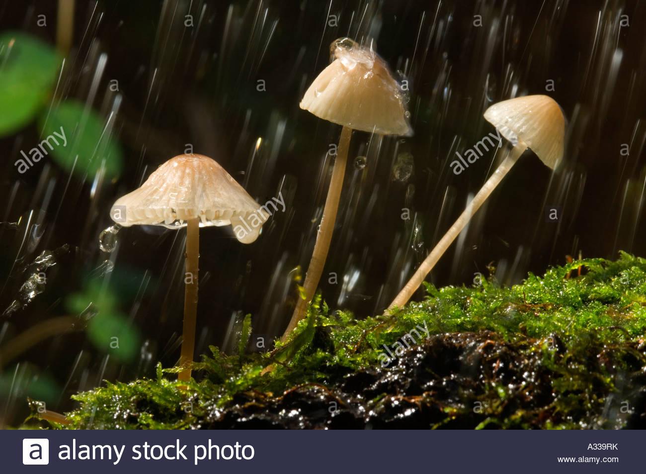 Fairy Bonnet toadstools Coprinus Disseminatus - Stock Image