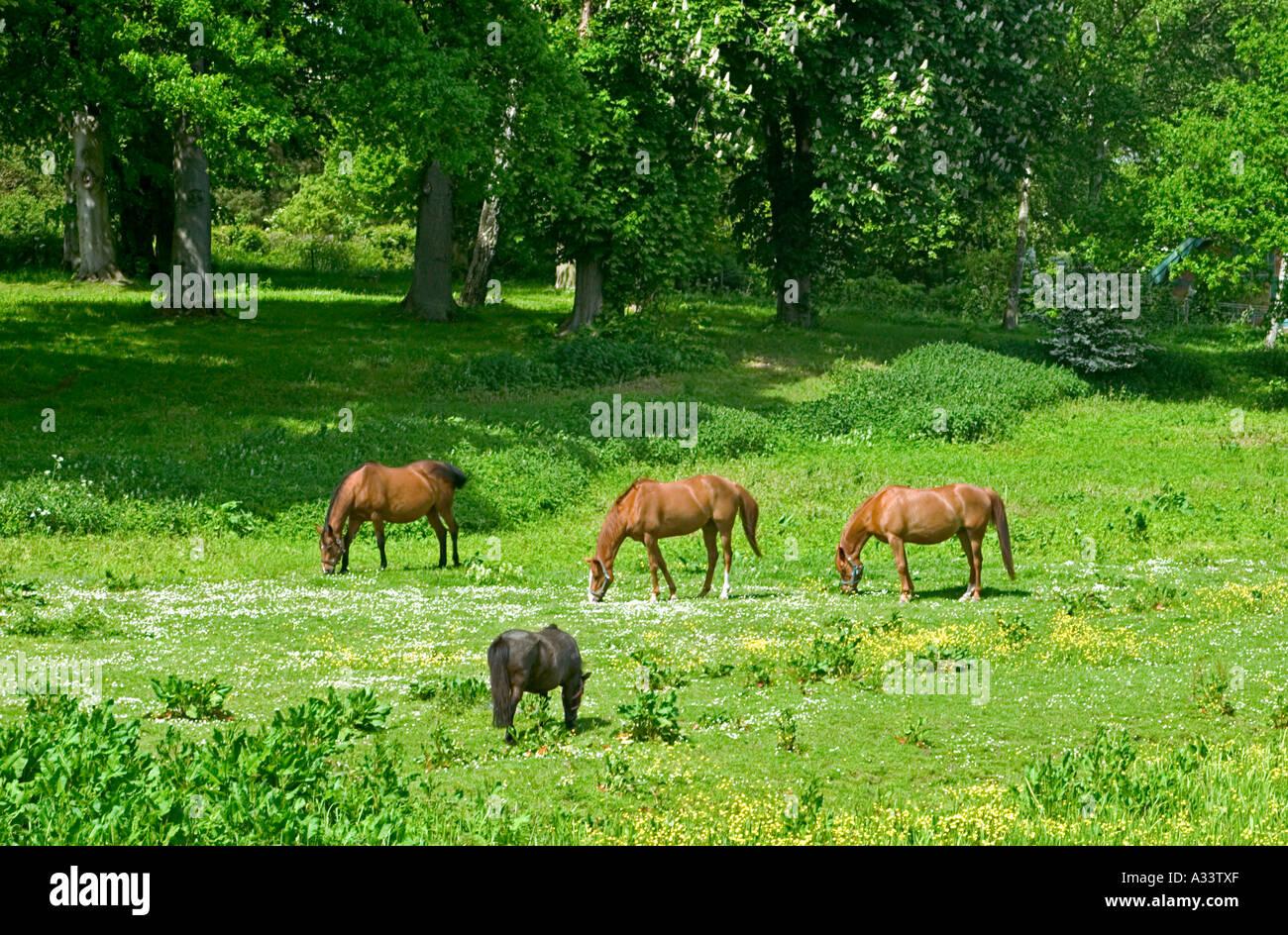 Horses in a Forest Meadow Gunderslevholm Zealand Denmark - Stock Image