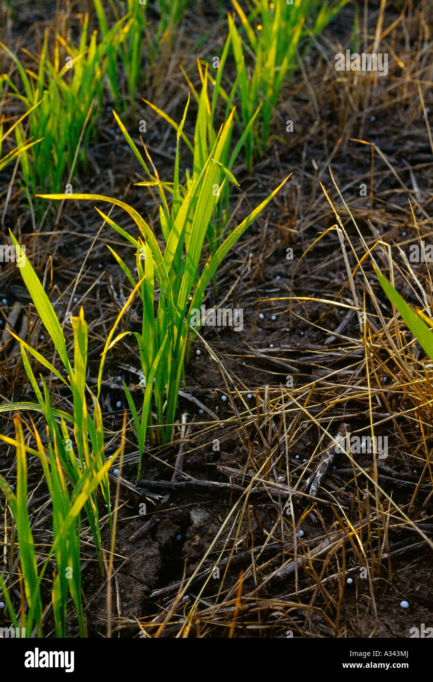 Agriculture - Closeup of early growth no till rice plants growing in soybean & weed stubble at the pre flood stage Stock Photo