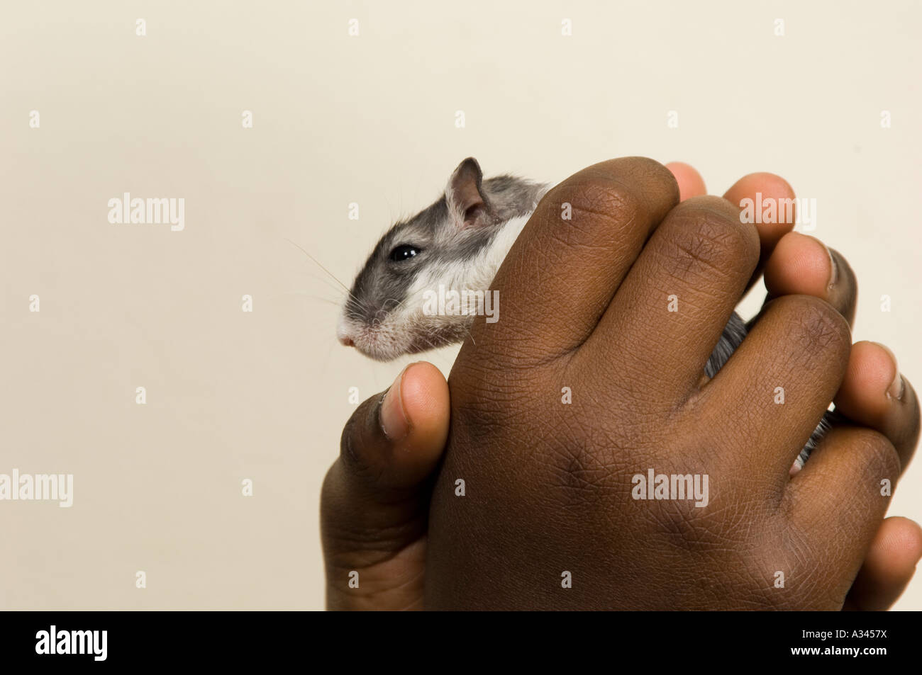 Gerbil in a young boy's hands - Stock Image
