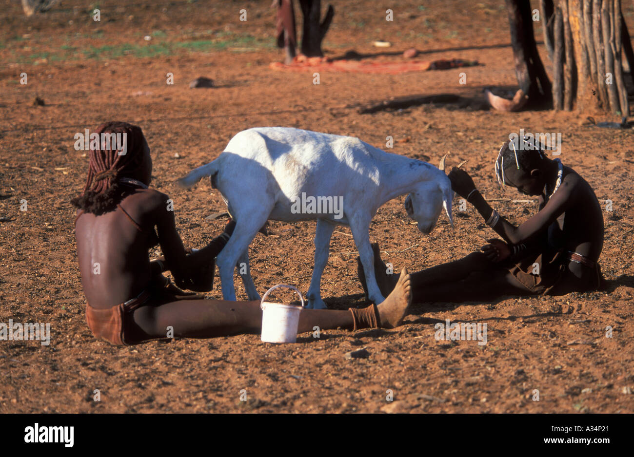 Himba Ovahimba tribe children milking goat inside Kraal gilr milking boy holding goat head Kaokoveld Namibia Africa - Stock Image