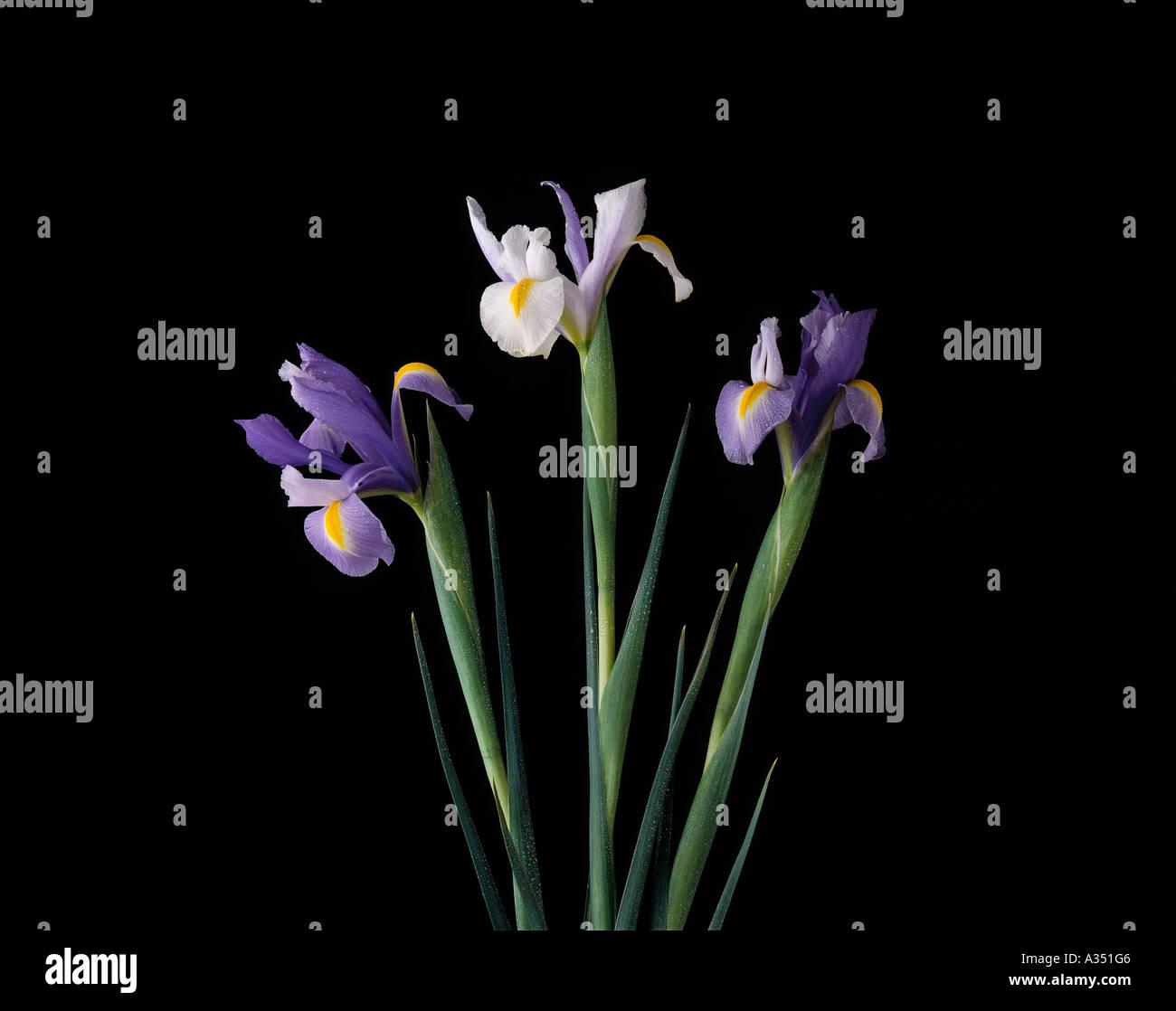 Two purple and one white iris flowers perennial herbaceous plant two purple and one white iris flowers perennial herbaceous plant genus iris family iridaceae izmirmasajfo