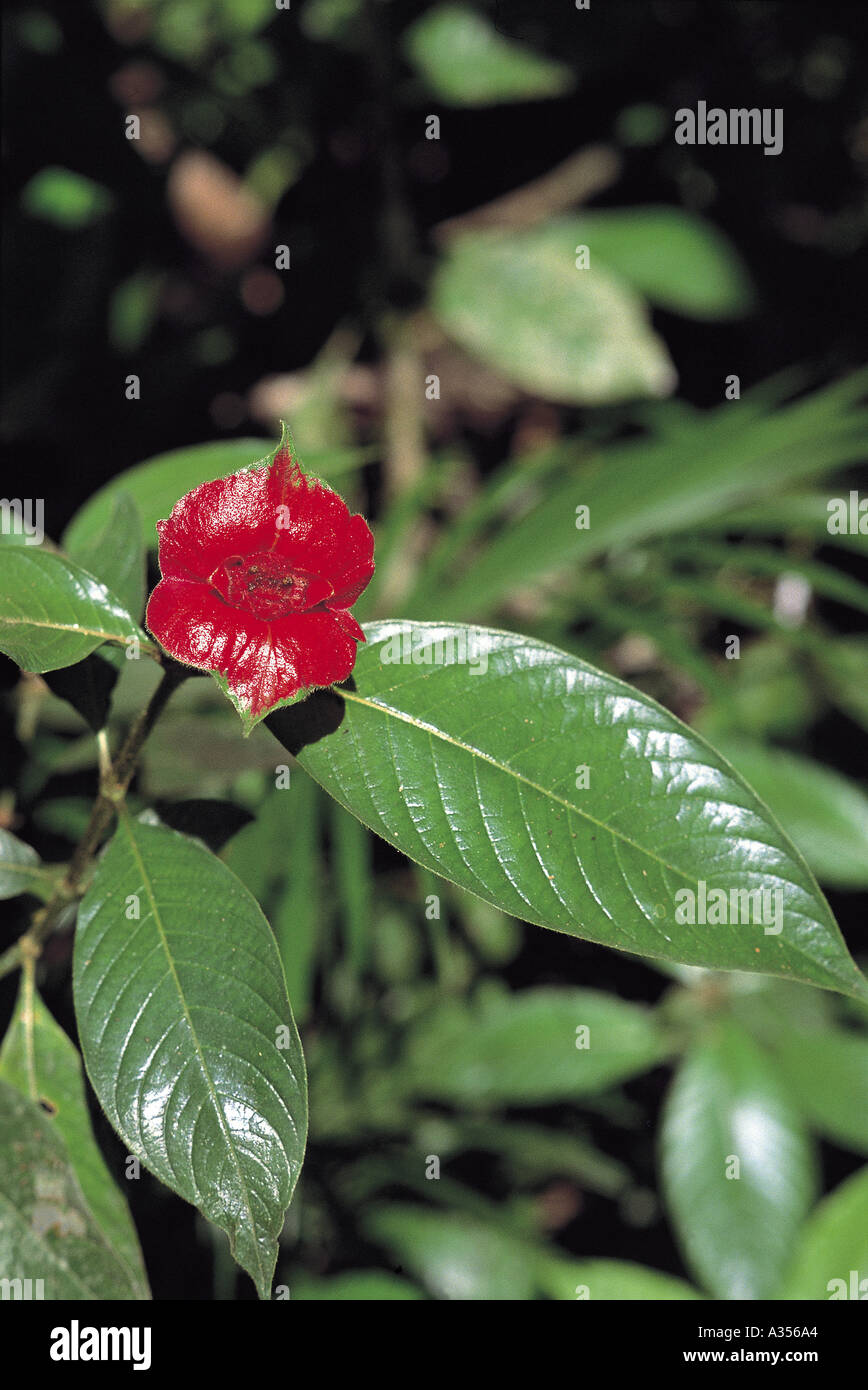 Amazon Brazil Psychotria sp plant which looks like a woman s lips believed to be an aphrodisiac - Stock Image