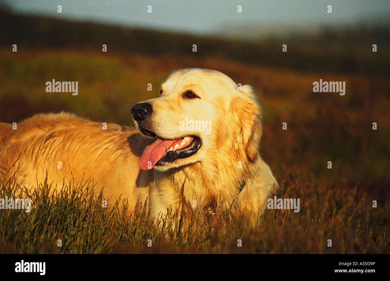 Golden Retriever, Sam - Stock Image